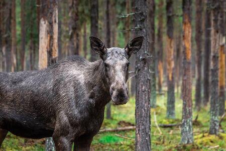 Jeunes orignaux sauvages paissant près de Kiruna, en Suède. Banque d'images
