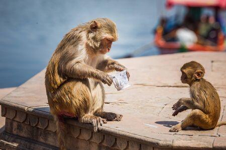 Monkeys at Holi festival in Vrindavan, India.