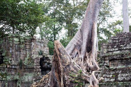 Roots at temple ruins at Angkor Wat, Siem Reap, Cambodia.