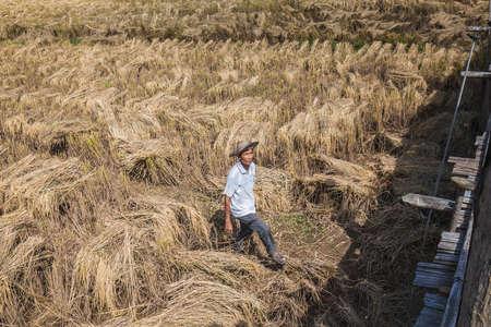 Rice farmer in the field. Chiang Mai, Thailand - November 12 2017.