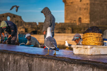 Seagulls waiting near fisherman for freshly catched fish for sale at the harbor in Essaouira, Morocco. Essaouira, Morocco - April 14 2016. Редакционное