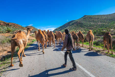 Herd of camels walking in moroccan road. Herd of one humped camels, dromedaries on the way to the camel market in Guelmim, Morocco. Guelmim, Morocco - April 16 2016. Foto de archivo - 156207666