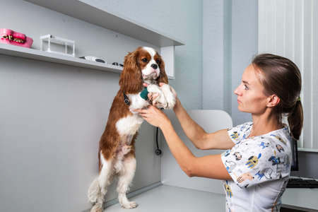 Veterinarian performs check up on a cute dog at the modern laboratory in Minsk, Belarus. Minsk, Belarus - July 21 2020.