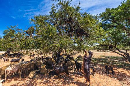 Heard of goats climbed on an argan tree on a way to Essaouira, Morocco, North Africa. 免版税图像