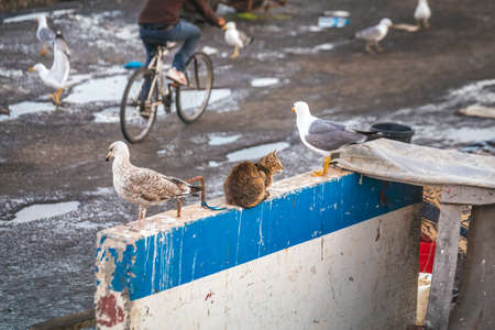 Seagulls and cat at Essaouira port in Morocco. Shot after sunset at blue hour. Foto de archivo - 156106370