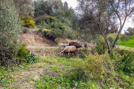 Scenic panoramic view with sheep close to a famous blue city of Chefchaouen, Morocco.