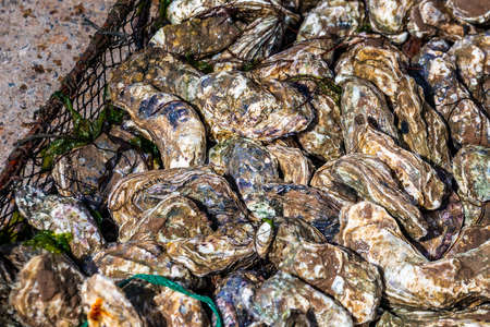 Fresh oysters in Oualidia, a coastal village in Morocco situated between El Jadida and Safi. It is located beside a protected natural lagoon and has been called Morocco's oyster capital. Foto de archivo - 156105838