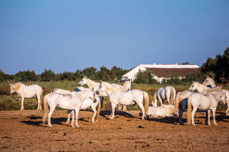 Herd of the white horses in Camargue, France. Foto de archivo - 156105860