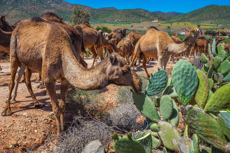 Herd of camels eating cactuses. Herd of one humped camels, dromedaries on the way to the camel market in Guelmim, Morocco.