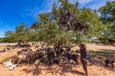 Heard of goats climbed on an argan tree on a way to Essaouira, Morocco, North Africa. Imagens