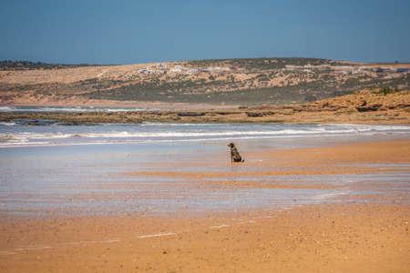 Dog at the beach near Essaouira in Morocco.