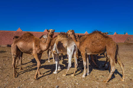 Herd of camels walking in moroccan road. Herd of one humped camels, dromedaries on the way to the camel market in Guelmim, Morocco. 免版税图像