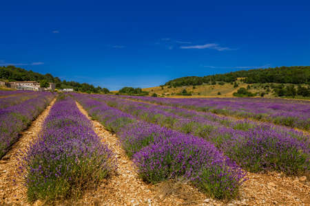 Lavender field in Provence, France, Europe.