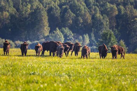 Wild european aurochs in the forest at Belovezhskaya Pushcha National Park, Belarus. Reklamní fotografie