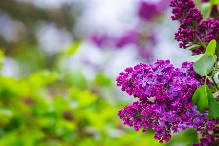 The blossoming grade lilac in a botanical garden of the city of Minsk, Belarus. Spring in Minsk. Blooming lilacs and chestnuts. Walk in the city. Foto de archivo