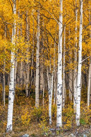 Aspen tree leaves Foto de archivo