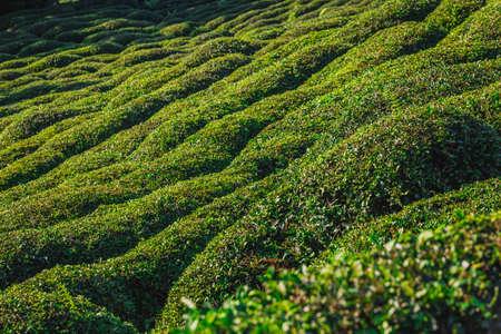 Tea plantations near Rize in Turkey editorial