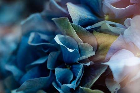 Closeup of blue hydrangea blossom background