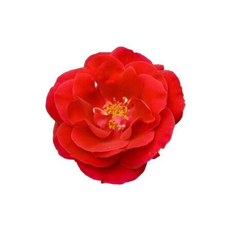 Beautyful red rose close up isolated Stock Photo - 4675182