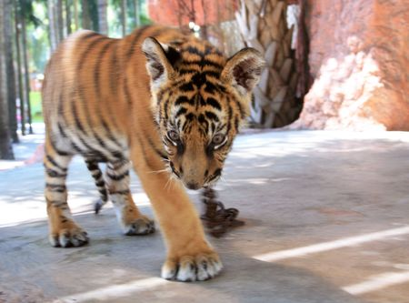 Young tiger on chain does step in zoo Stock Photo - 4952120