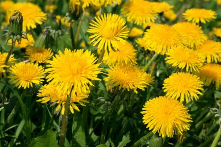 Yellow dandelions on green herb, stalk colour photo