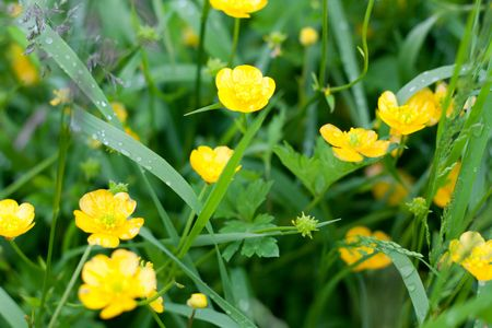 Yellow flowerses on background of the green herb with drop of water photo