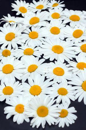 Disposit flowerses camomile on dark gray background Stock Photo - 5237438