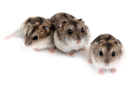 Three hamsters insulated on white background, small depth to sharpnesses photo