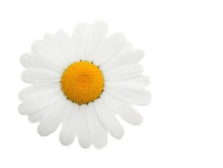 daisywheel: One head daisywheel insulated on white background