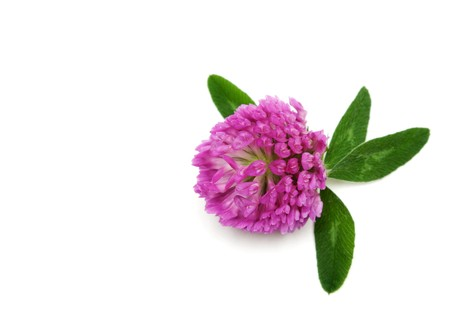 dutch clover: Violet flower of the dutch clover insulated on white background