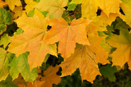 Yellow sheet of the maple fall weather photo