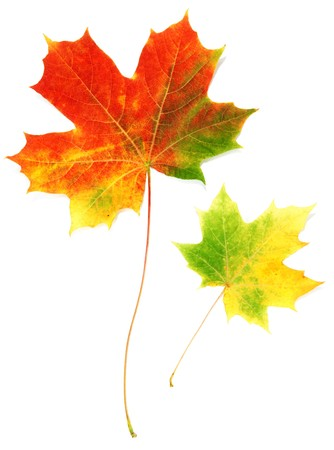 Two sheets maple autumn on white background photo
