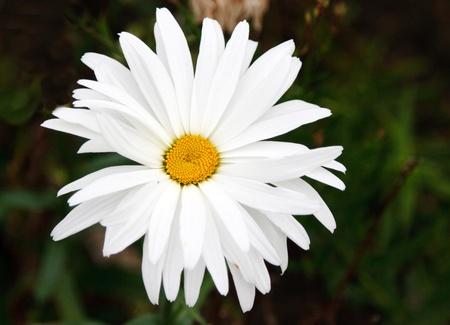 Blanching daisywheel with yellow medium on dark background Stock Photo - 8417675