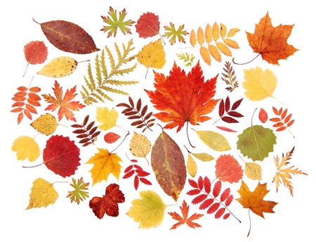 Autumn leaves red, yellow, green dry on a white background photo