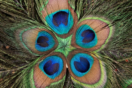 background color of the peacocks feathers photo