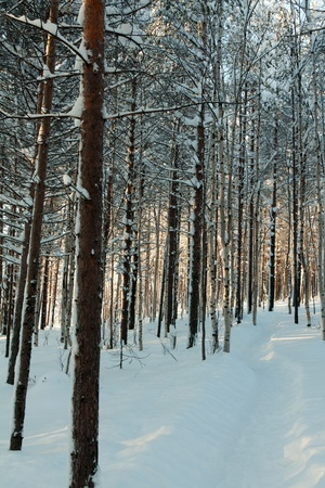 winter forest, the sunlight shines through the trees photo