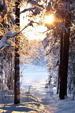january sunrise: bosque de invierno, el sol brilla a trav�s de los �rboles Foto de archivo