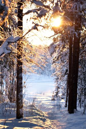 december sunrise: winter forest, the sunlight shines through the trees Stock Photo