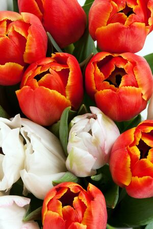 red and white fresh tulips arranged background photo