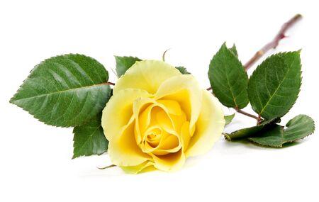 rosas amarillas: frescas rosas amarillas aisladas sobre fondo blanco