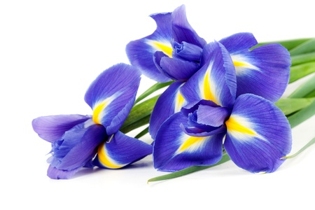 irises: iris bouquet of fresh flowers isolated on white background