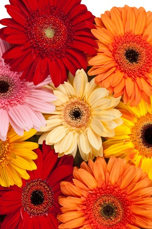 Fresh Gerbera background photo
