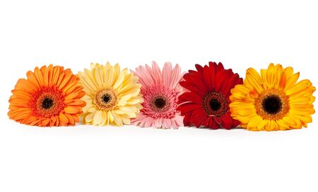 five gerbera arranged in a row on a white background photo