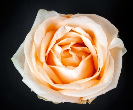 Creamy rose against a black background photo