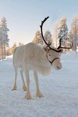 renos de navidad: Blanca Navidad ciervos en el fondo de los bosques cubiertos de nieve
