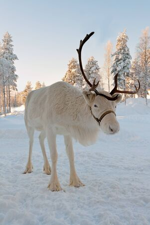 christmas reindeer: White Christmas deer in the background of snow-covered forest