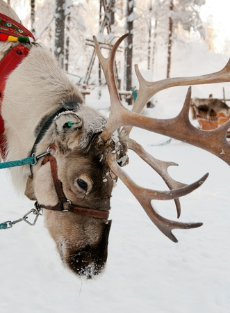 Christmas Reindeer on the background of a winter forest photo