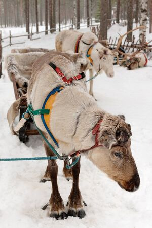 Reindeer in winter at the polar circle photo