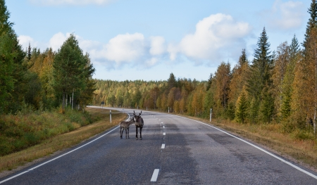 white tailed deer: Caribou with fawn on the road in the autumn forest
