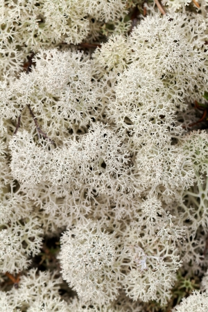 reindeer moss for a close-up on a cloudy day in the Arctic Circle photo